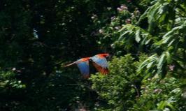 MacawsBolivia